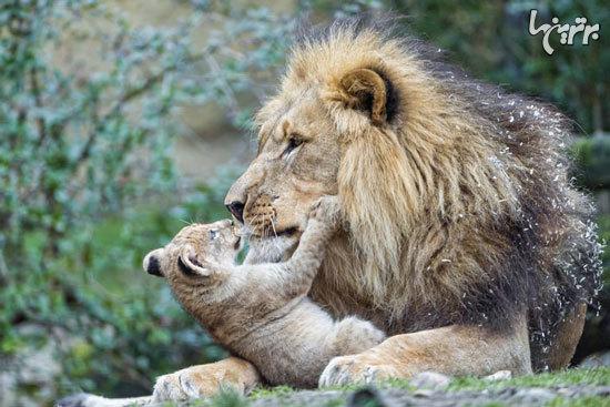 بهترین و بدترین پدرهای دنیای حیوانات
