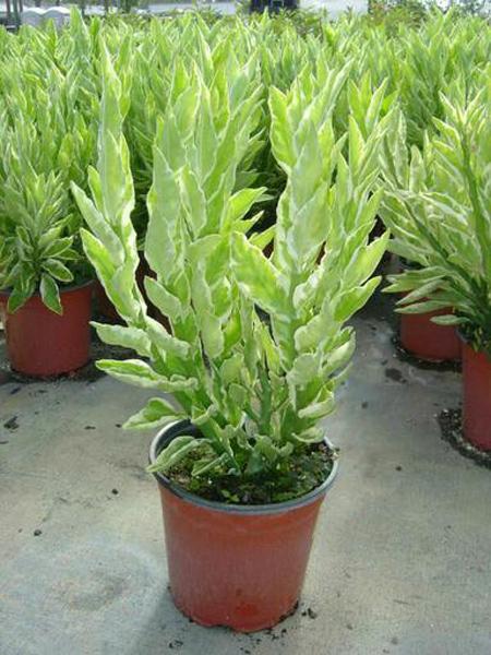 نکاتی برای نگهداری از گل پدیلانتوس, تصاویر گل پدیلانتوس
