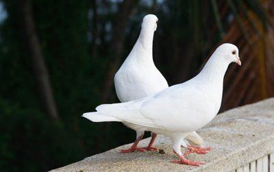 آنچه که باید یک کبوتر باز بداند