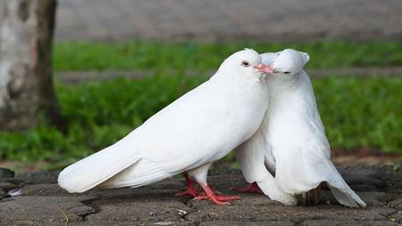 درباره کبوتر,آشنایی با کبوتر