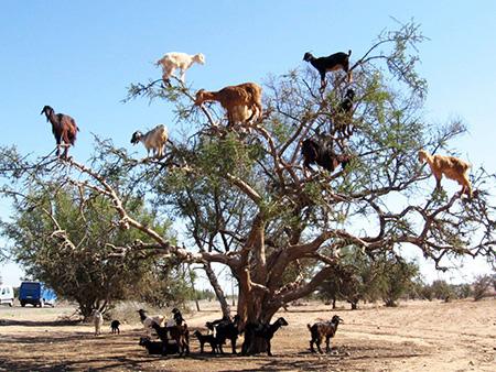 مراکش, جاذبه های توریستی مراکش,بزهای درختی