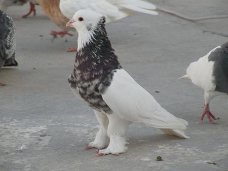 تقسیم بندی کبوتران, معرفی نژادهای کبوتر