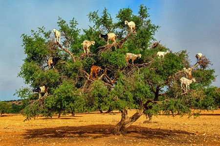 دیدنیهای مراکش,تصاویر بزهای درختی,بزهای درختی