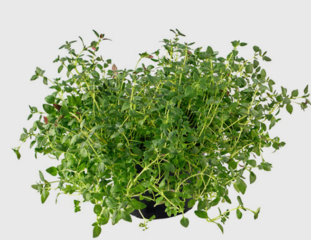 کاشت سبزیجات خانگی,نکاتی برای کاشت گیاهان در آشپزخانه