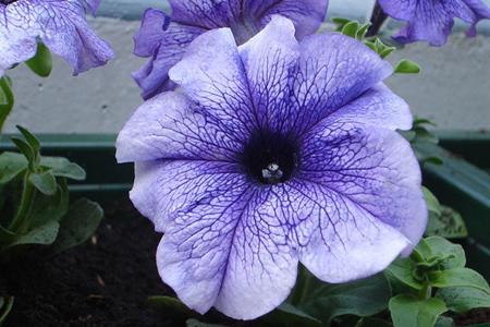 بهترین گل ها در تراس, گل های مخصوص بالکن و تراس