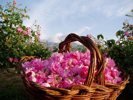 گل محمدی,درباره گل محمدی