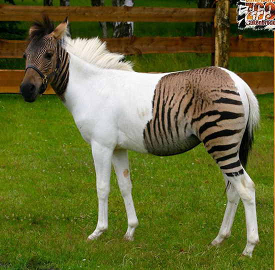 حیوانات دورگه عجیبی که واقعا وجود دارند!