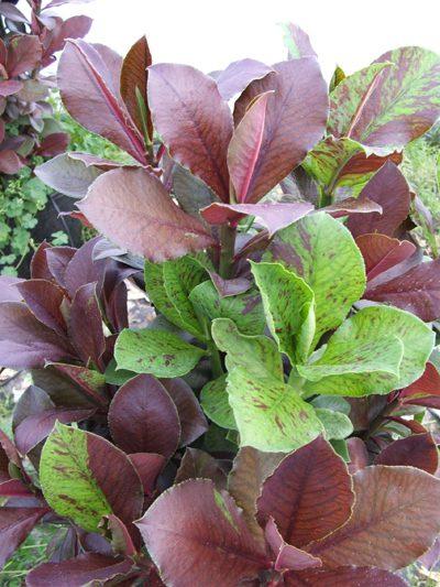 پرورش گل افوربیا سینادنیوم, پرورش و نگهداری از گل افوربیا سینادنیوم