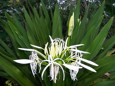آشنایی با گل سوسن عنکبوتی, آبیاری گل سوسن