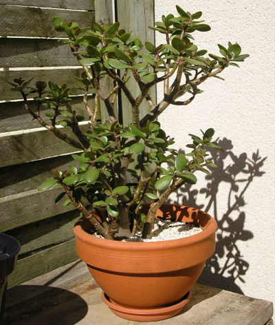 کاشت و پرورش گل کراسولا, نکاتی برای کاشت گل کراسولا