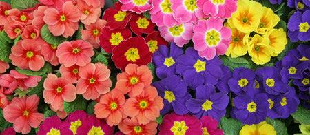 عکس بذر گل پامچال, تعویض گلدان گل پامچال, عکس گل پامچال قرمز