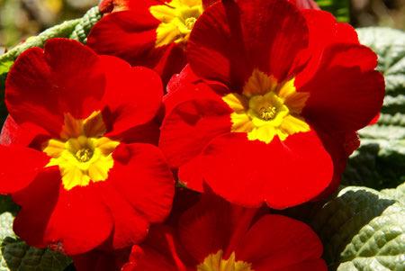 عکس گل پامچال قرمز, گل دهی گل پامچال, گل پامچال, عکس گل پامچال